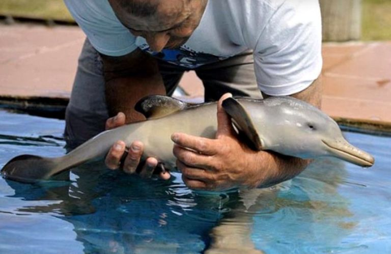 The dolphin was rushed to the NGO Rescate Fauna Marina reserve where Director, Richard Tesore, lovingly cared for it. The photo above shows the baby being lowered into a swimming pool just after being rescued.
