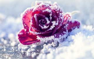 Rose In the Winter