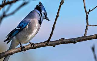 A Blue Jay's Gift