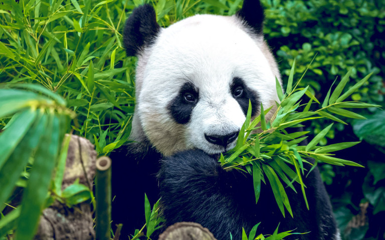 How much bamboo does a panda bear eat per day?