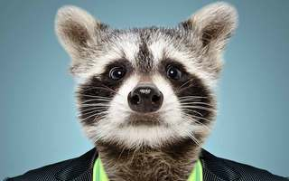 Radical Raccoon Bandit Quiz